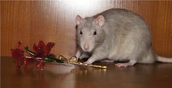 Крыса платинового окраса