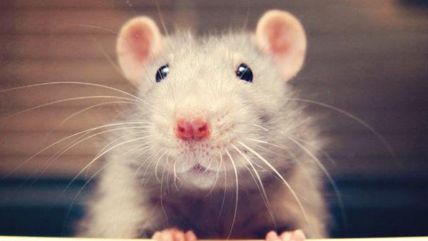 породы крыс