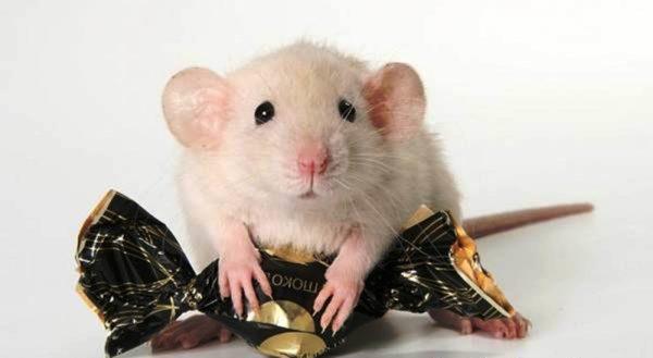 Вид домашней крысы дамбо