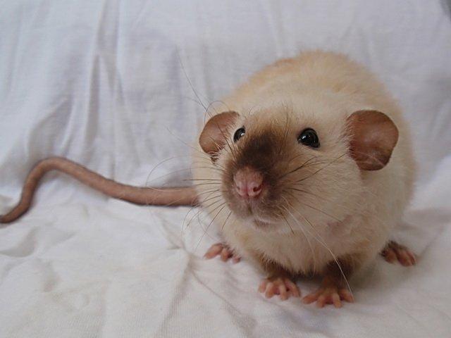 Гималайская крыса