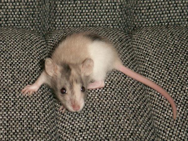 Мозаичная крыса