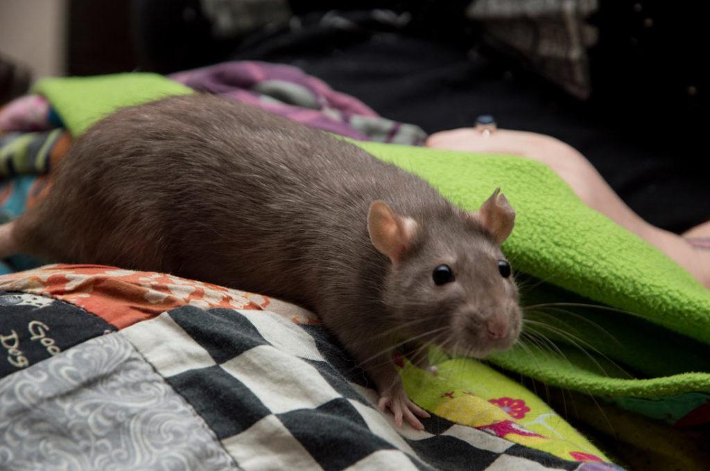 Крыса шоколадного окраса