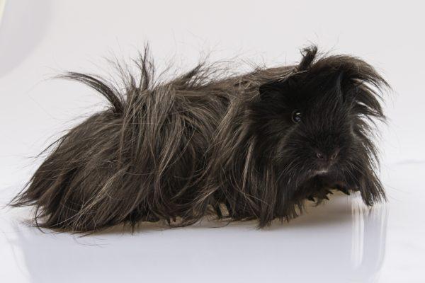 Черная морская свинка перуанской породы