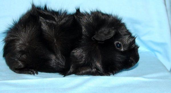 Черная морская свинка абиссинской породы