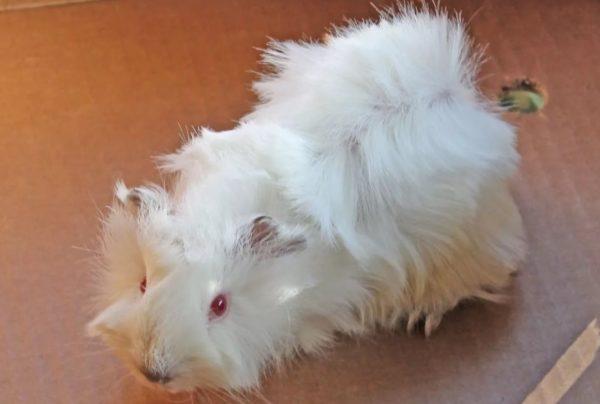 Белая морская свинка абиссинской породы