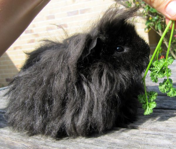 Черная морская свинка породы альпако
