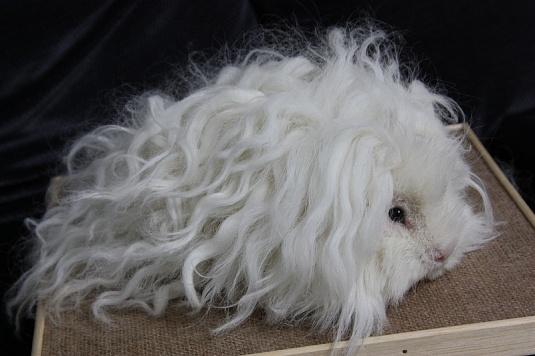 Белая морская свинка породы тексель