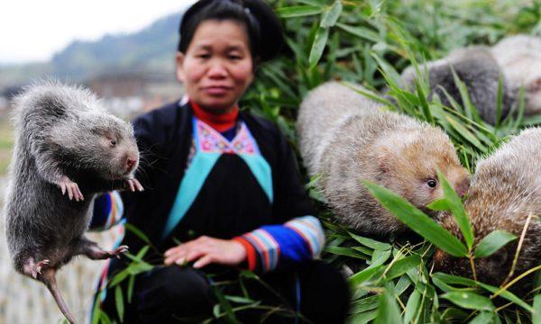 Большая бамбуковая крыса