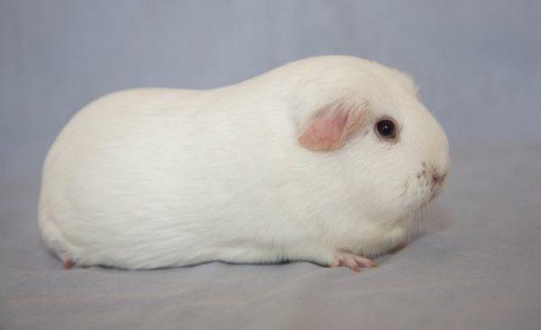 Белая морская свинка породы селф