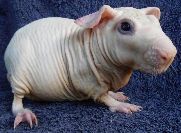 Белая морская свинка породы болдуин