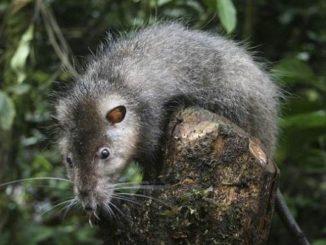 самая большая крыса в мире босави