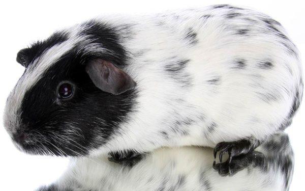 Черно-белая морская свинка окрас далматин