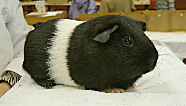 Черно-белая морская свинка породы галловей