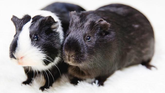 Черная и черно-белая морские свинки