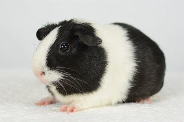 Черно-белая морская свинка голландской породы