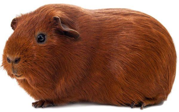 Морская свинка однотонного красного окраса