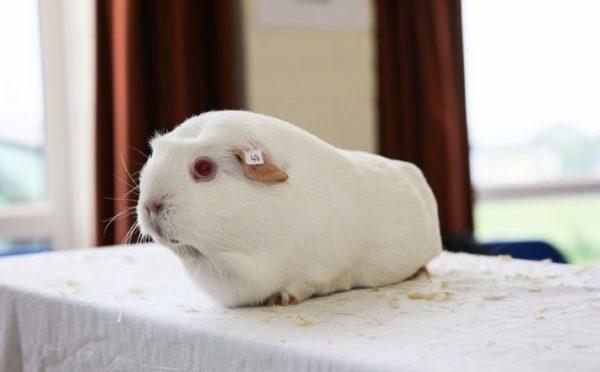 Морская свинка белого однотонного окраса