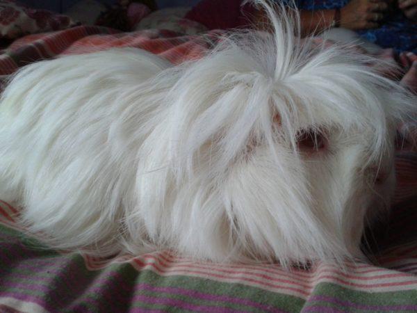 Белая морская свинка перуанской породы