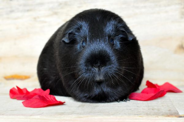 Черная морская свинка разновидность шерсти сатин