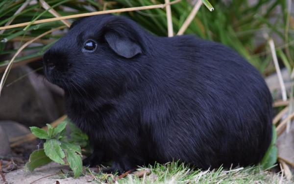 Черная морская свинка породы селф