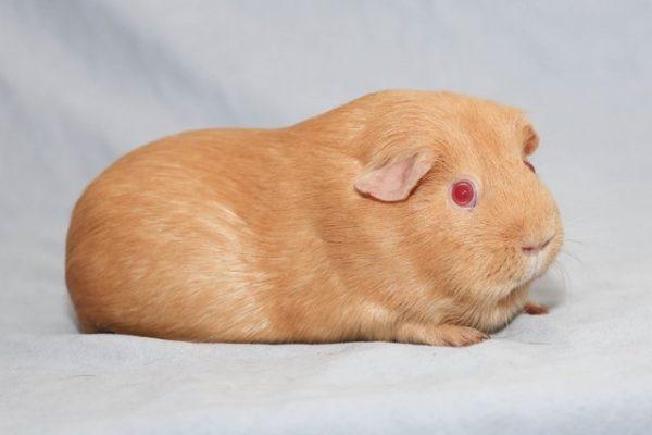Морская свинка окраса шафран
