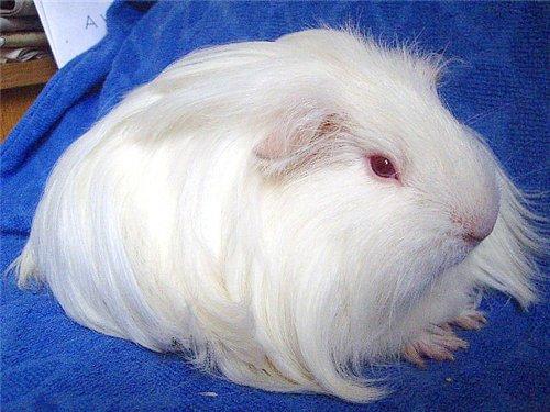 Белая морская свинка породы шелти