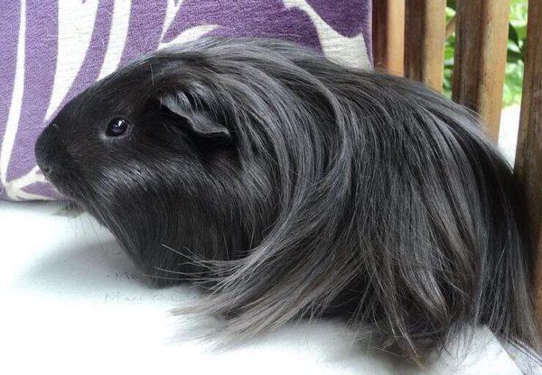 Черная морская свинка породы шелти