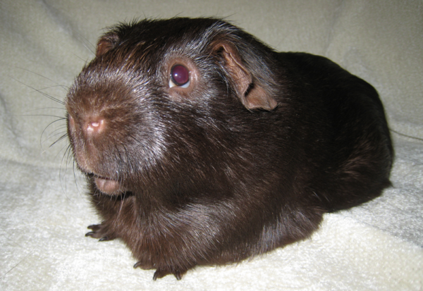 Морская свинка однотонного шоколадного окраса