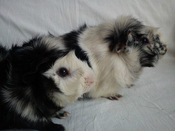 Черно-белые морские свинки окраса сорока