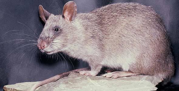 Гигантская сумчатая крыса