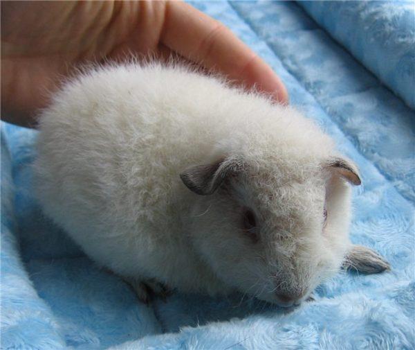 Белая морская свинка породы американский тедди