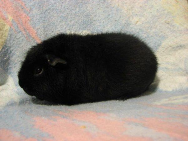 Черная морская свинка породы американский тедди