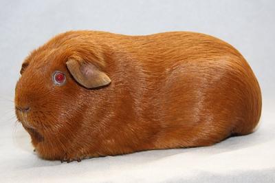 Морская свинка однотонного золотого окраса