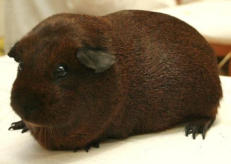 Морская свинка окраса агути шоколадный