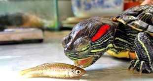 Красноухая черепаха ест рыбу