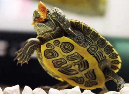 Красноухая черепаха ест рачков