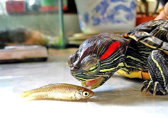 рыба черепаха фото