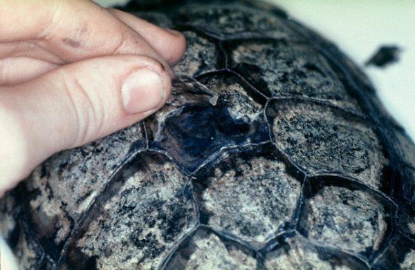 Размягчение панциря у черепахи , чешуйки трескаются и облезают