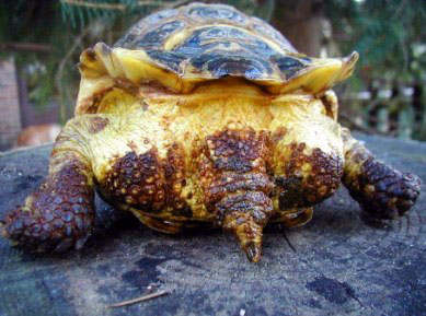 Бугристый панцирь при рахите у черепахи