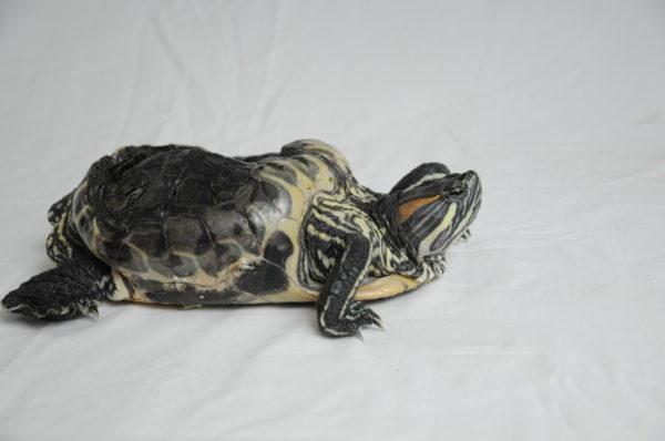 Деформация панциря при рахите у черепахи