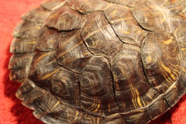 При рахите чешуйки панциря у черепахи налазят одна на одну