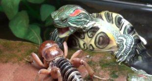 Кормление красноухой черепахи