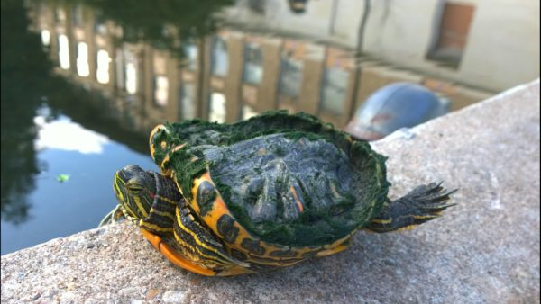 Деформация панциря у красноухой черепахи