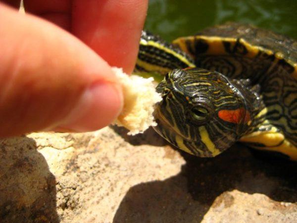 Красноухая черепаха ест