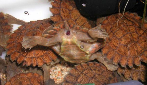 Анаэробное дыхание у черепахи