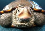 Морда черепахи