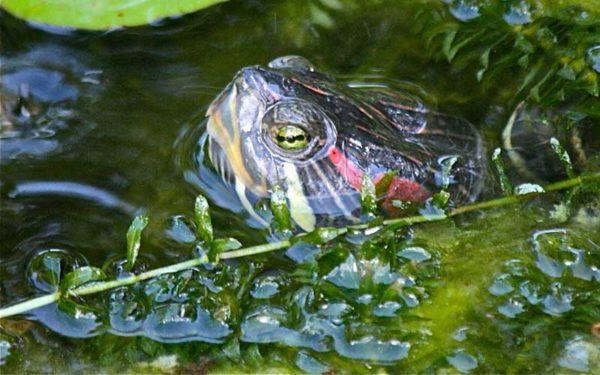 Красноухая черепаха всплывает, чтобы сделать вдох