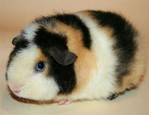 Морская свинка породы американский тедди