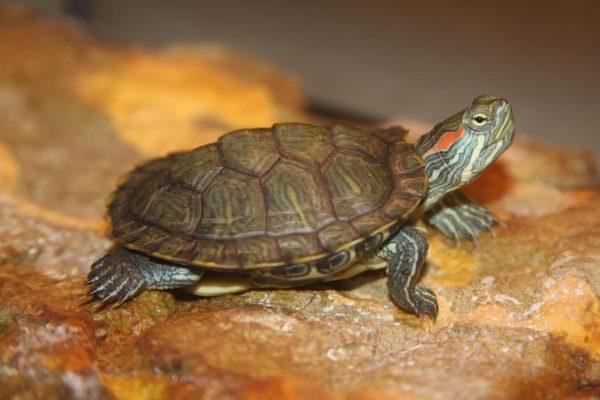 Красноухая черепаха с коричневым панцирем