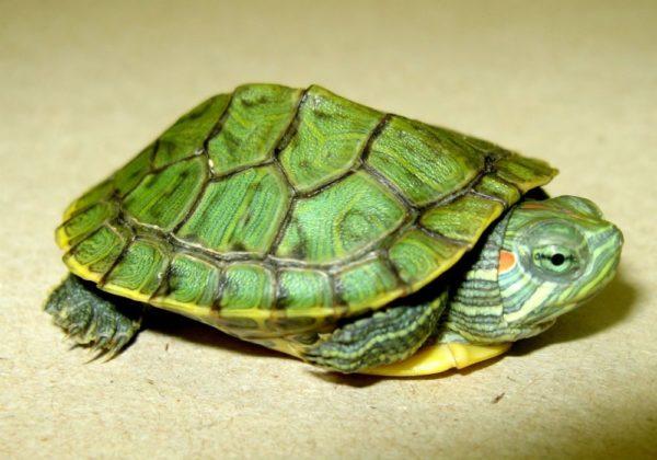Молодая красноухая черепаха с ярко-зеленым панцерем